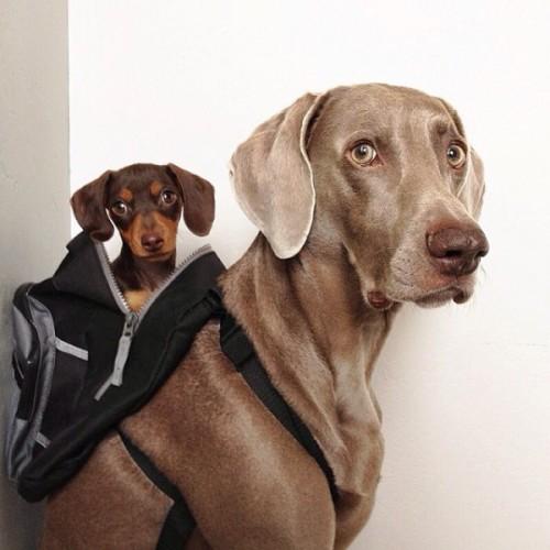 感情好到不行的大狗與小小狗1-600x600