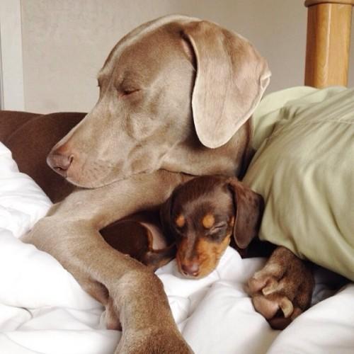 感情好到不行的大狗與小小狗6-600x600