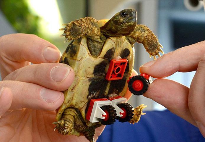 tortoise-regains-mobility-lego-wheelchair-designboom-01