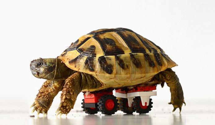 tortoise-regains-mobility-lego-wheelchair-designboom-02