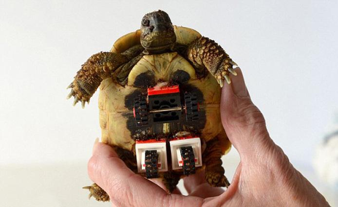 tortoise-regains-mobility-lego-wheelchair-designboom-03