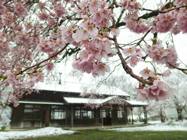 [多圖] 天然絕景 ... 四月落雪日本多處現罕見「雪櫻」