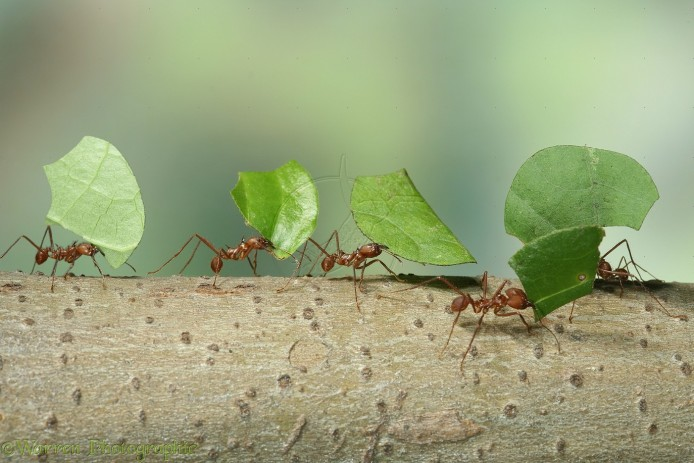 12813-Leaf-cutting-Ants.jpg